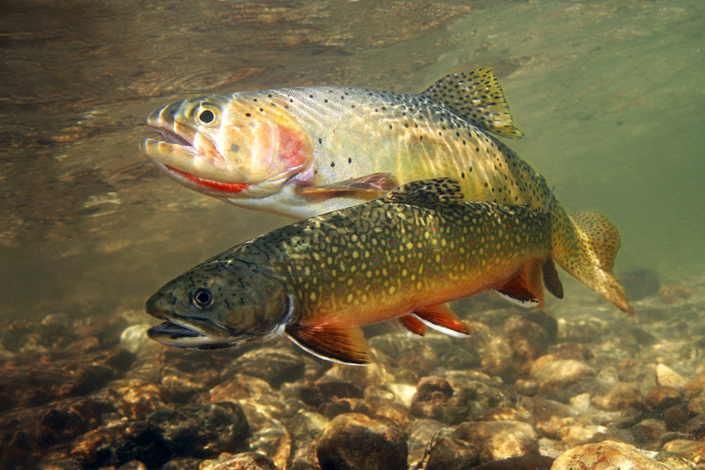 4WAAM-brook-trout